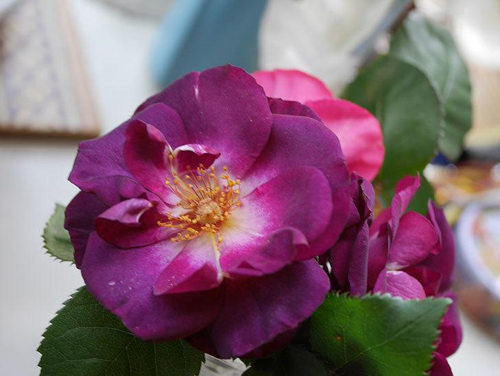 ソニャドール(Sonador)の花が咲いた。ツルバラ。2021年-015.jpg