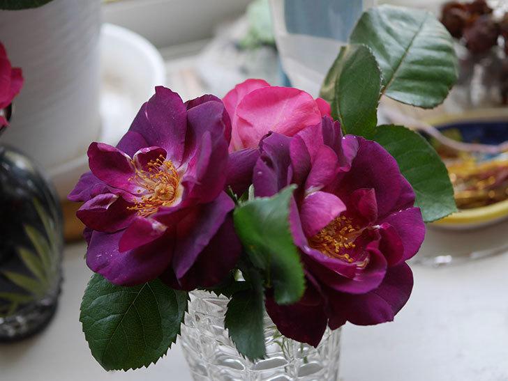 ソニャドール(Sonador)の花が咲いた。ツルバラ。2021年-016.jpg
