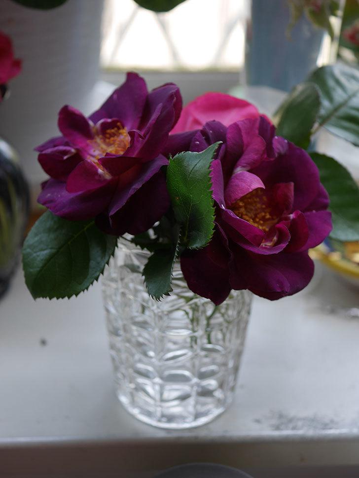 ソニャドール(Sonador)の花が咲いた。ツルバラ。2021年-017.jpg