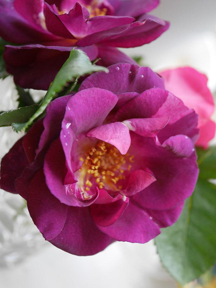 ソニャドール(Sonador)の花が咲いた。ツルバラ。2021年-018.jpg