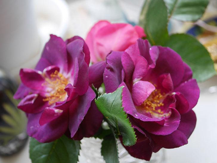 ソニャドール(Sonador)の花が咲いた。ツルバラ。2021年-019.jpg