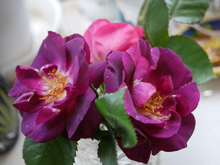 ソニャドール(Sonador)の花が咲いた。ツルバラ。2021年-020.jpg