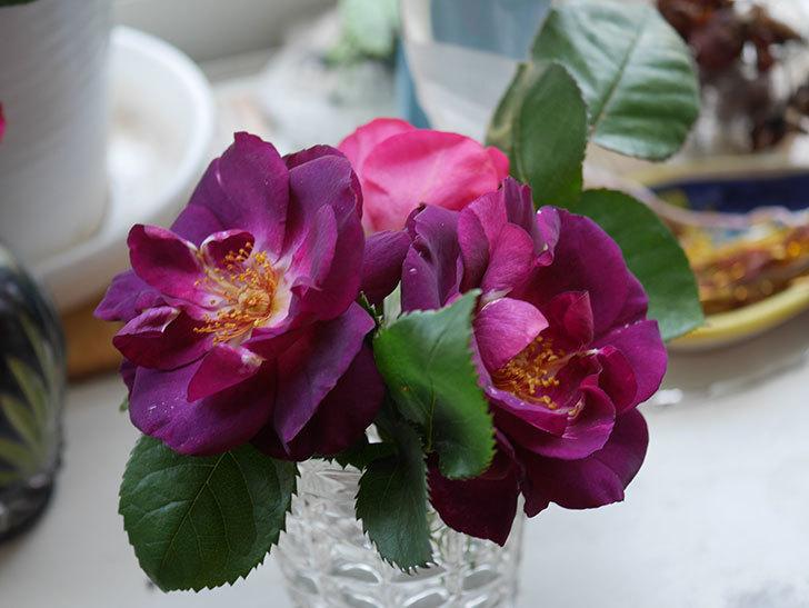 ソニャドール(Sonador)の花が咲いた。ツルバラ。2021年-021.jpg