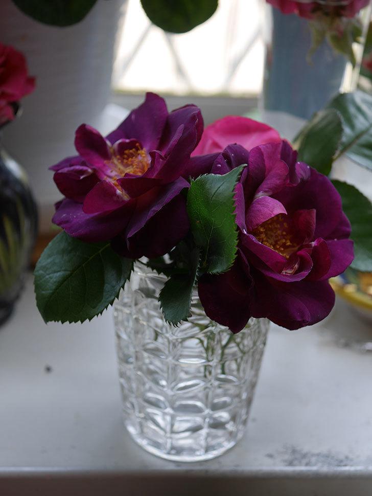 ソニャドール(Sonador)の花が咲いた。ツルバラ。2021年-022.jpg