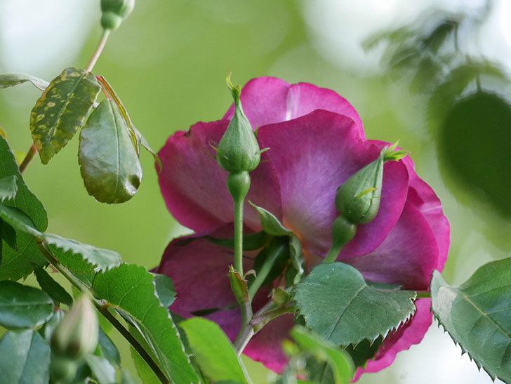 ソニャドール(Sonador)の花が増えてきた。ツルバラ。2021年-001.jpg