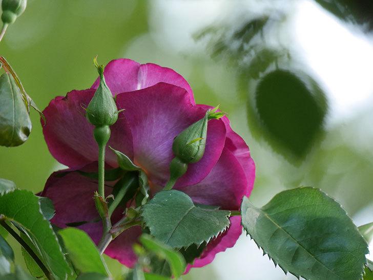 ソニャドール(Sonador)の花が増えてきた。ツルバラ。2021年-002.jpg