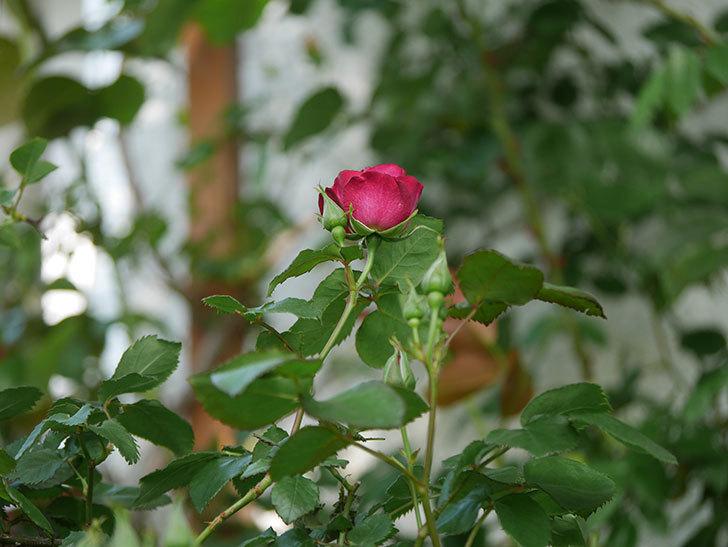 ソニャドール(Sonador)の花が増えてきた。ツルバラ。2021年-003.jpg