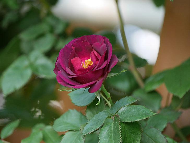ソニャドール(Sonador)の花が増えてきた。ツルバラ。2021年-005.jpg