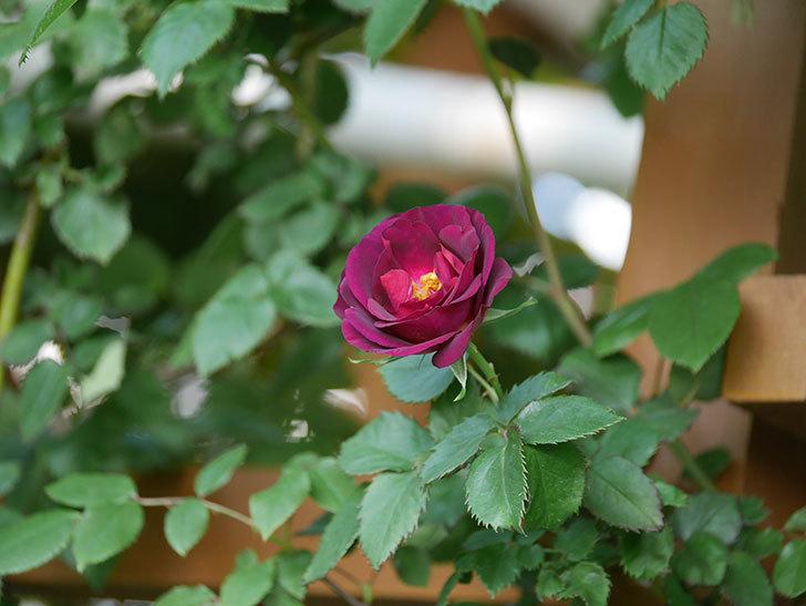 ソニャドール(Sonador)の花が増えてきた。ツルバラ。2021年-006.jpg