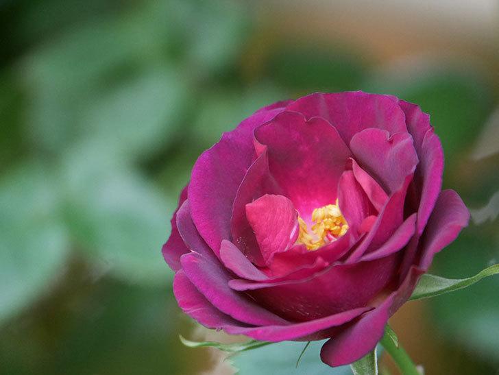 ソニャドール(Sonador)の花が増えてきた。ツルバラ。2021年-007.jpg