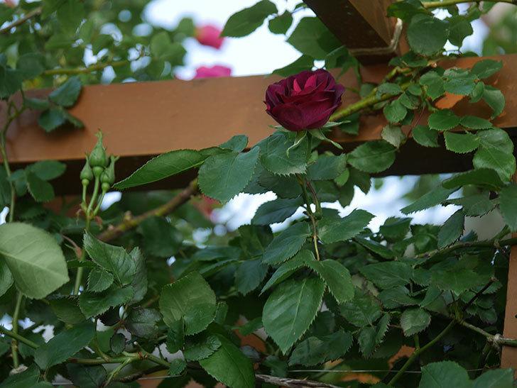 ソニャドール(Sonador)の花が増えてきた。ツルバラ。2021年-009.jpg