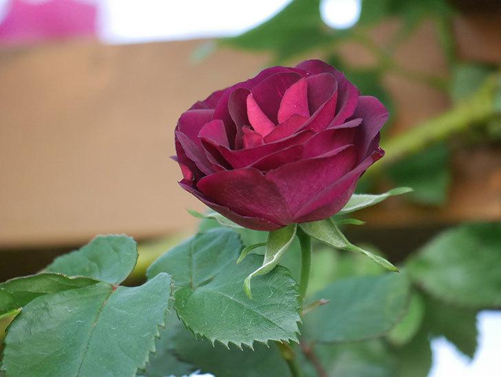 ソニャドール(Sonador)の花が増えてきた。ツルバラ。2021年-010.jpg