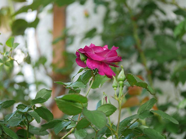 ソニャドール(Sonador)の花が増えてきた。ツルバラ。2021年-014.jpg