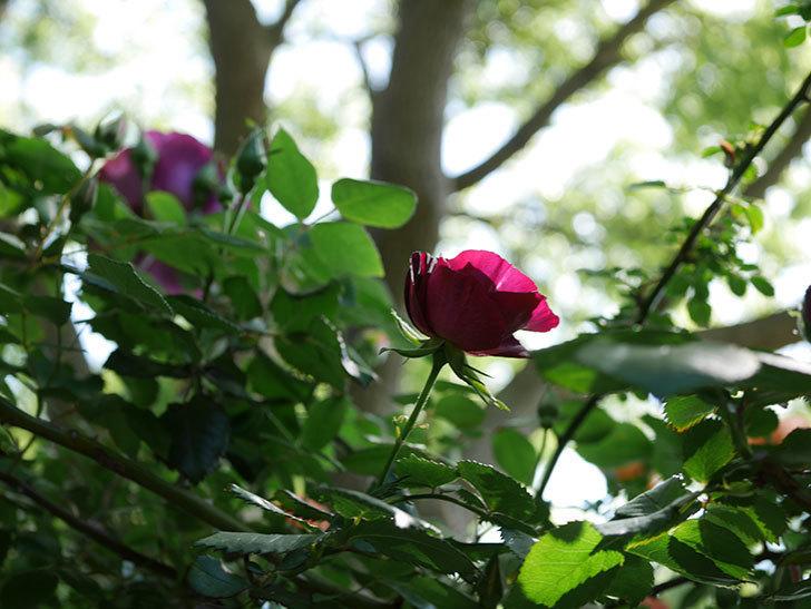 ソニャドール(Sonador)の花が増えてきた。ツルバラ。2021年-016.jpg