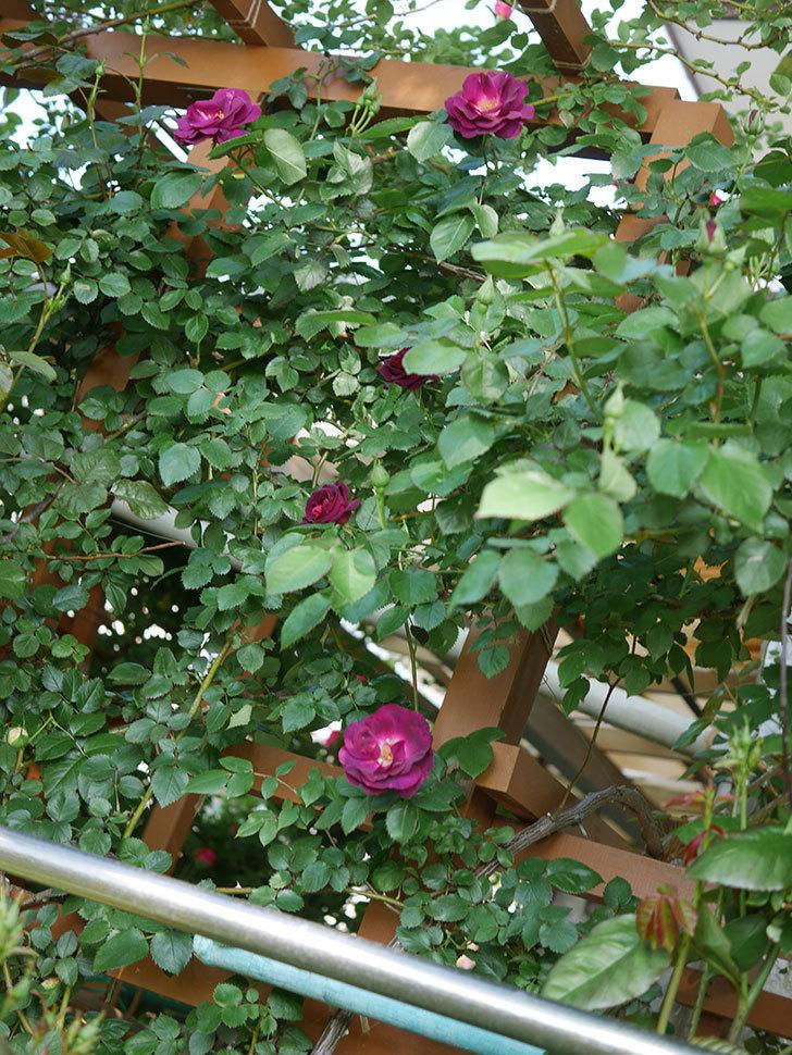 ソニャドール(Sonador)の花が増えてきた。ツルバラ。2021年-018.jpg