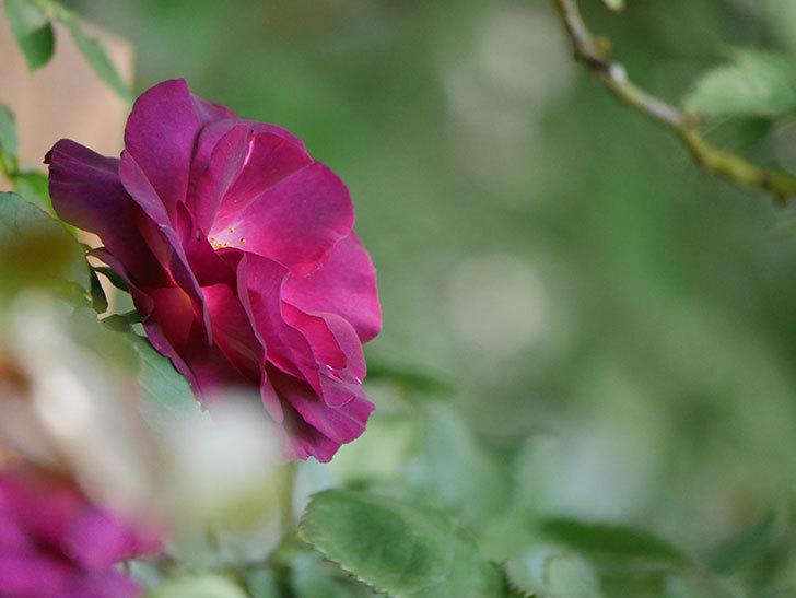 ソニャドール(Sonador)の花が増えてきた。ツルバラ。2021年-019.jpg