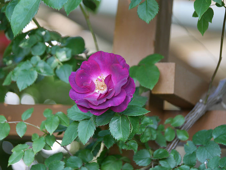 ソニャドール(Sonador)の花が増えてきた。ツルバラ。2021年-021.jpg