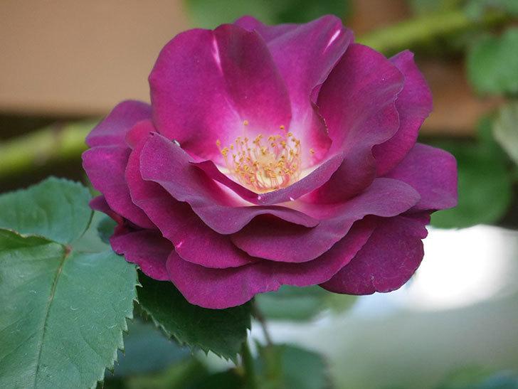ソニャドール(Sonador)の花が増えてきた。ツルバラ。2021年-022.jpg