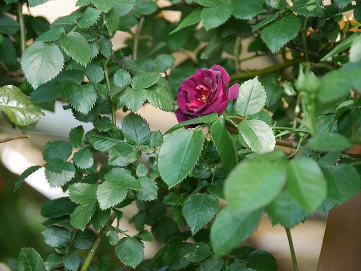 ソニャドール(Sonador)の花が増えてきた。ツルバラ。2021年-024.jpg
