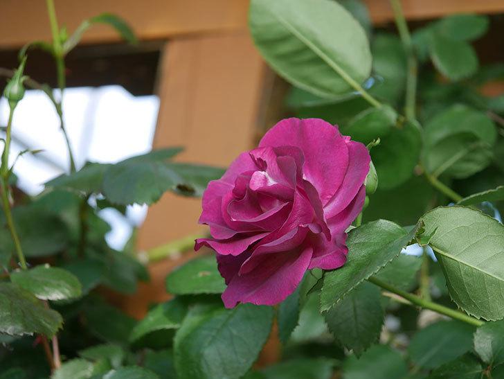 ソニャドール(Sonador)の花が増えてきた。ツルバラ。2021年-027.jpg