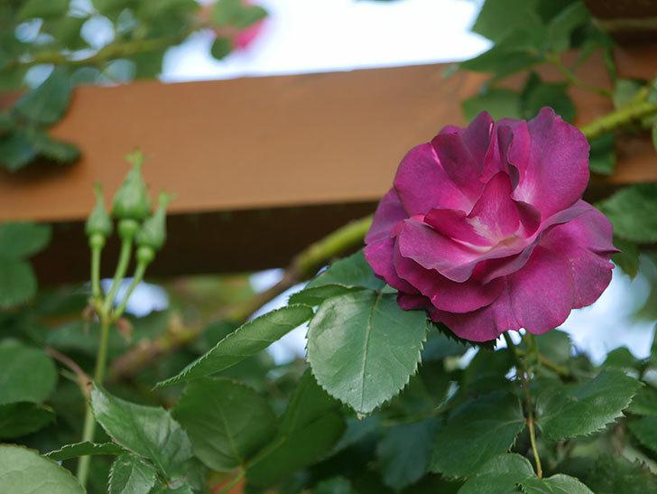 ソニャドール(Sonador)の花が増えてきた。ツルバラ。2021年-028.jpg