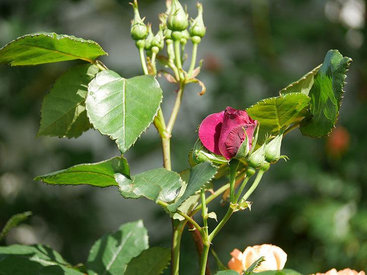 ソニャドール(Sonador)の花が増えてきた。ツルバラ。2021年-031.jpg
