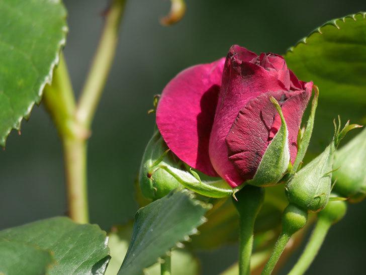 ソニャドール(Sonador)の花が増えてきた。ツルバラ。2021年-032.jpg