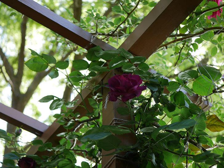 ソニャドール(Sonador)の花が増えてきた。ツルバラ。2021年-033.jpg