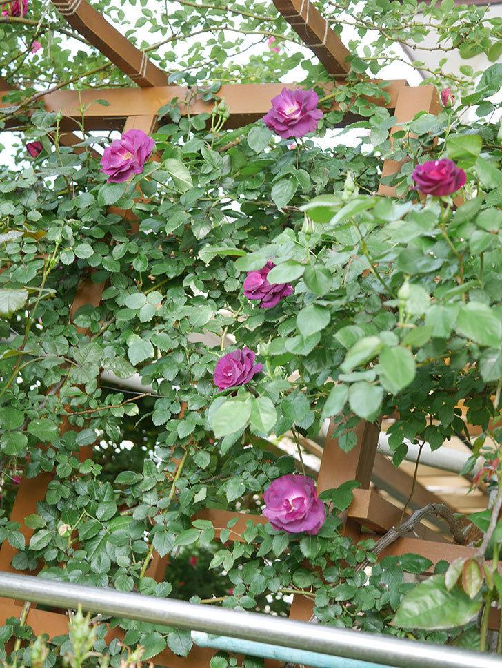 ソニャドール(Sonador)の花が増えてきた。ツルバラ。2021年-034.jpg