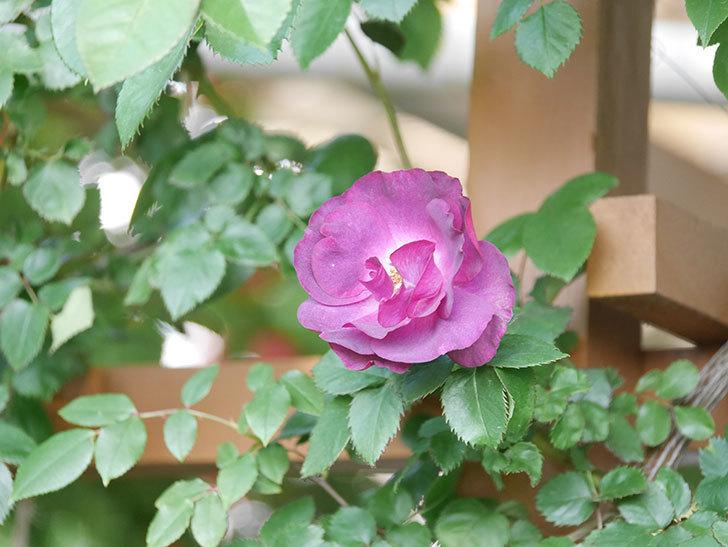 ソニャドール(Sonador)の花が増えてきた。ツルバラ。2021年-035.jpg
