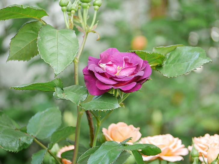 ソニャドール(Sonador)の花が増えてきた。ツルバラ。2021年-036.jpg