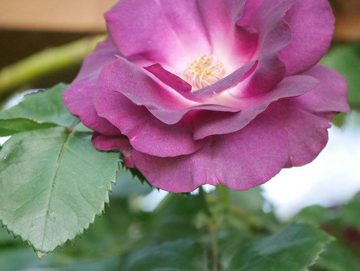 ソニャドール(Sonador)の花が増えてきた。ツルバラ。2021年-037.jpg