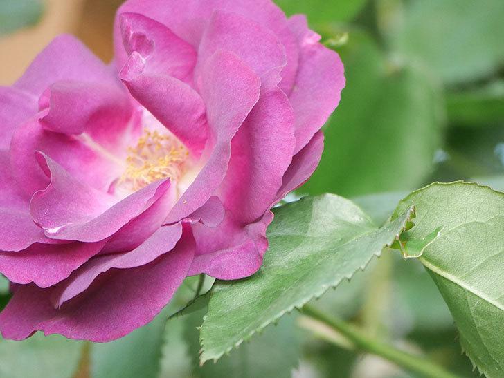 ソニャドール(Sonador)の花が増えてきた。ツルバラ。2021年-038.jpg