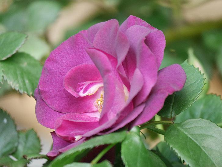 ソニャドール(Sonador)の花が増えてきた。ツルバラ。2021年-039.jpg