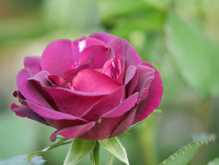 ソニャドール(Sonador)の花が増えてきた。ツルバラ。2021年-040.jpg