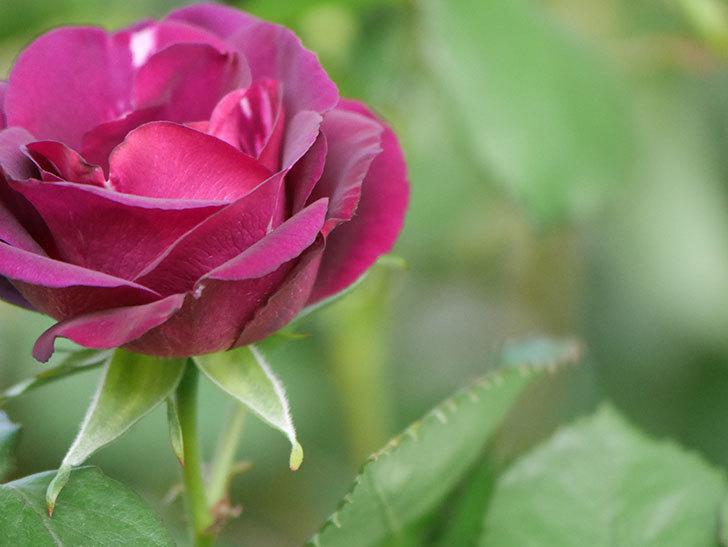 ソニャドール(Sonador)の花が増えてきた。ツルバラ。2021年-041.jpg