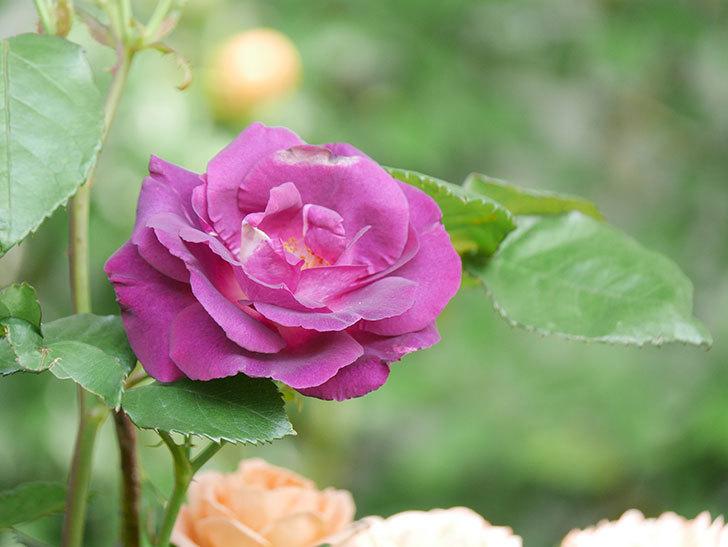 ソニャドール(Sonador)の花が増えてきた。ツルバラ。2021年-042.jpg