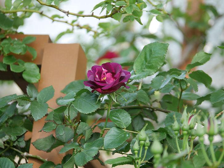 ソニャドール(Sonador)の花が増えてきた。ツルバラ。2021年-043.jpg