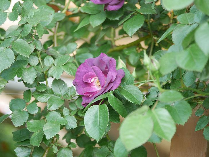 ソニャドール(Sonador)の花が増えてきた。ツルバラ。2021年-044.jpg