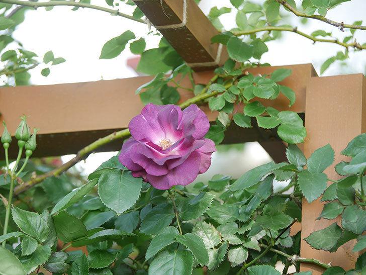 ソニャドール(Sonador)の花が増えてきた。ツルバラ。2021年-046.jpg