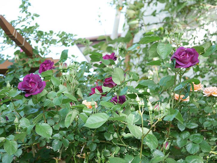 ソニャドール(Sonador)の花が増えてきた。ツルバラ。2021年-048.jpg