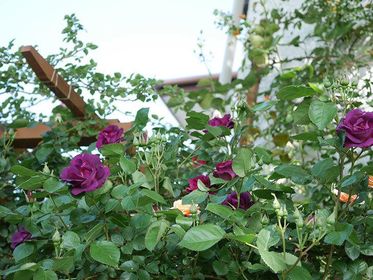 ソニャドール(Sonador)の花が増えてきた。ツルバラ。2021年-049.jpg