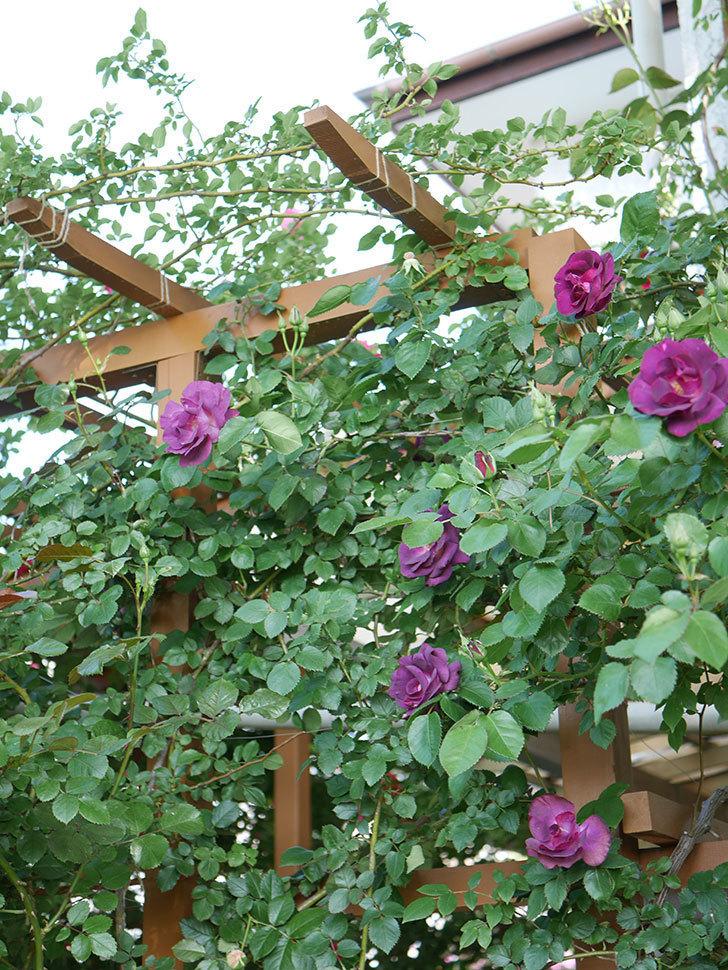 ソニャドール(Sonador)の花が増えてきた。ツルバラ。2021年-050.jpg