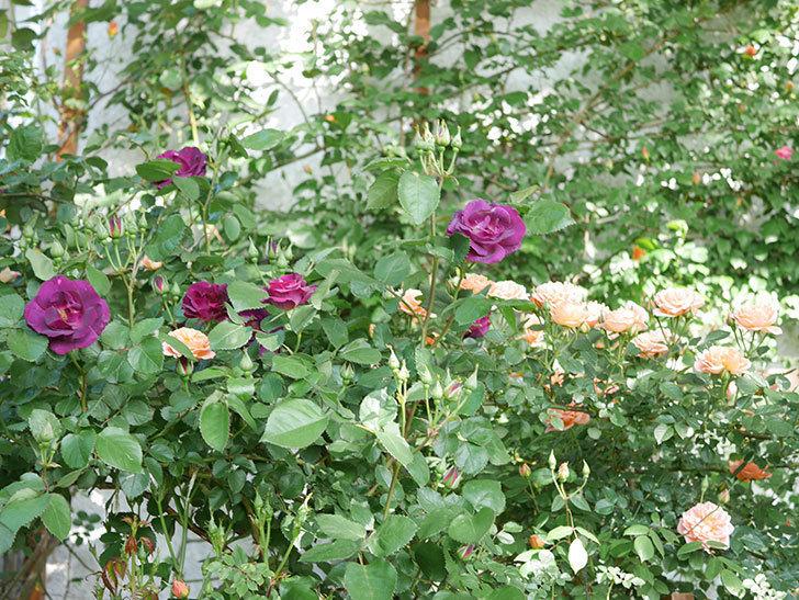 ソニャドール(Sonador)の花が増えてきた。ツルバラ。2021年-051.jpg