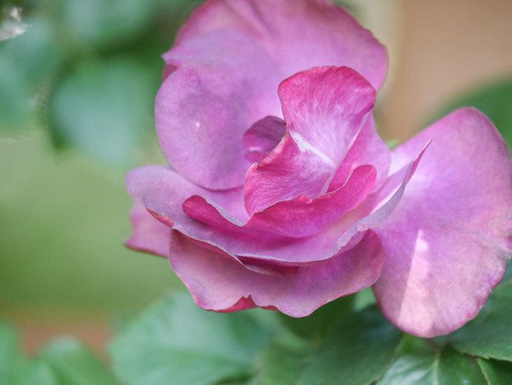 ソニャドール(Sonador)の花が増えてきた。ツルバラ。2021年-055.jpg