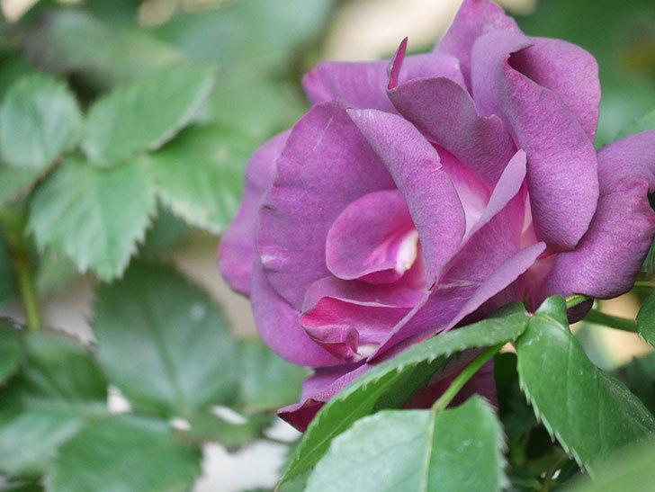 ソニャドール(Sonador)の花が増えてきた。ツルバラ。2021年-056.jpg