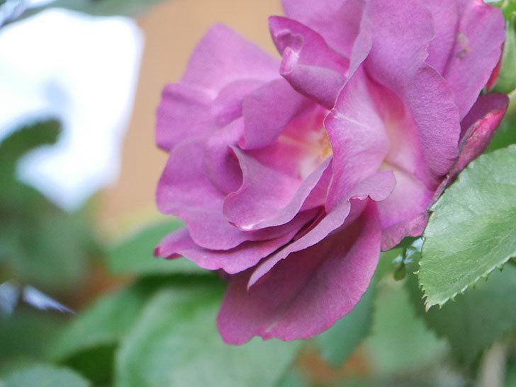 ソニャドール(Sonador)の花が増えてきた。ツルバラ。2021年-057.jpg