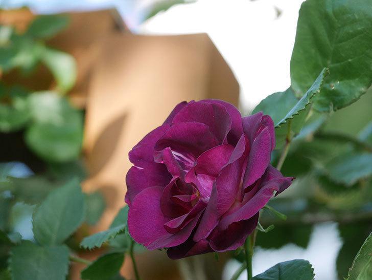 ソニャドール(Sonador)の花が増えてきた。ツルバラ。2021年-058.jpg