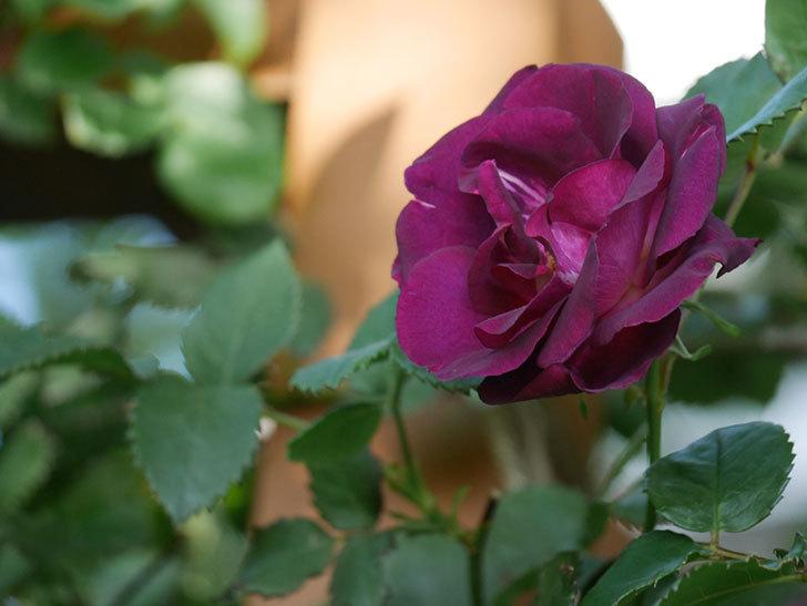 ソニャドール(Sonador)の花が増えてきた。ツルバラ。2021年-059.jpg