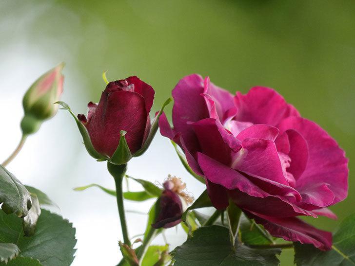 ソニャドール(Sonador)の花が増えてきた。ツルバラ。2021年-060.jpg